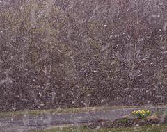 Spring Snow Burst from Sister72